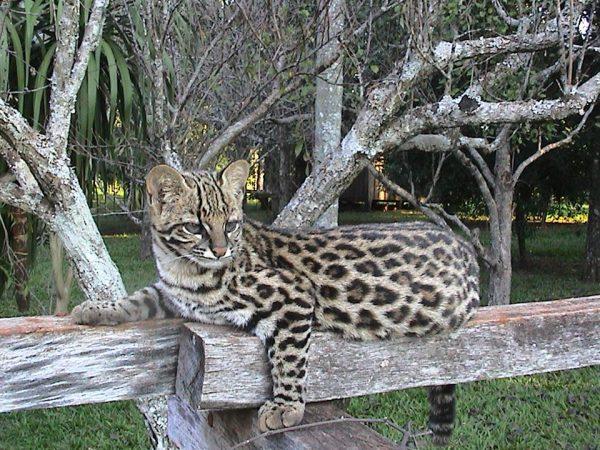 Тигровая кошка в вольере