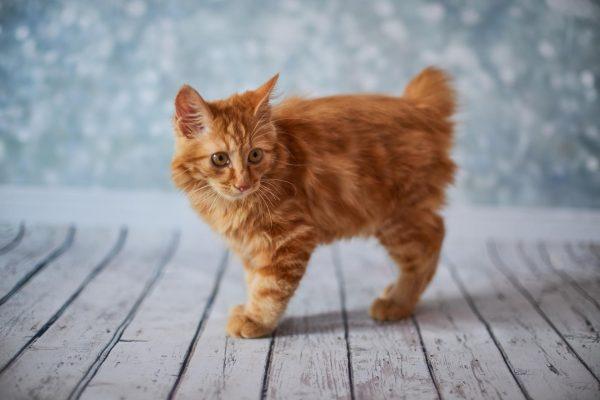 Рыжий котёнок американского бобтейла