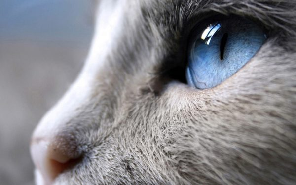 Голубоглазая серая кошка крупным планом