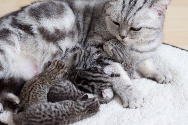 Британская короткошёрстная кошка и пятеро котят