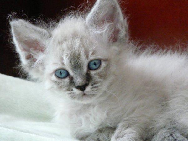 Колор-пойнтовый котёнок лаперма с голубыми глазами