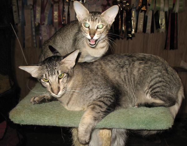 Яванский кот и кошка