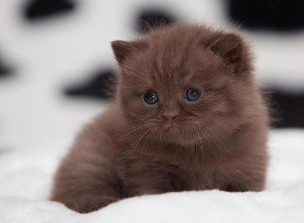 Йоркский шоколадный котёнок