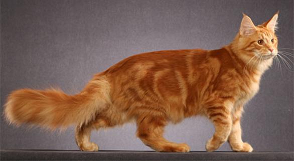 Здоровая анатолийская кошка