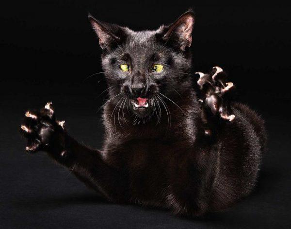 Чёрная кошка с выпущенными когтями