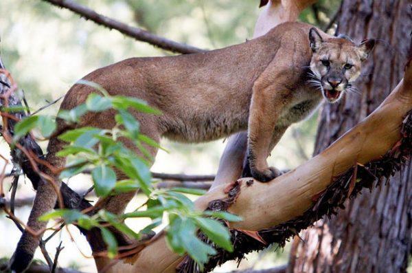 Золотая кошка на дереве