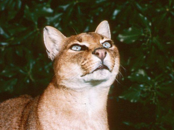 Золотая кошка смотрит вверх