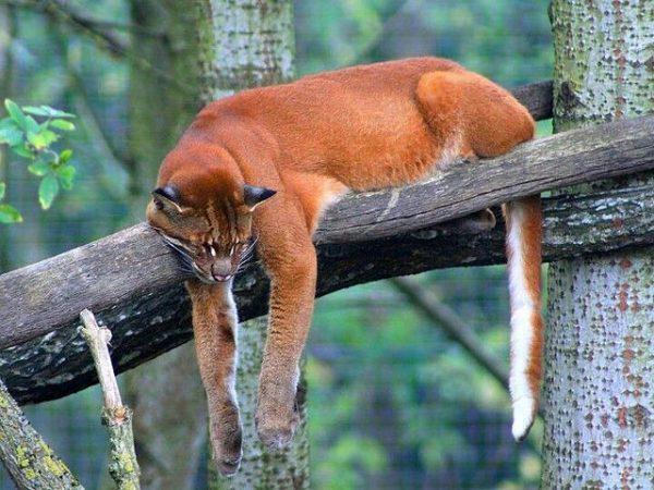 Золотая кошка спит