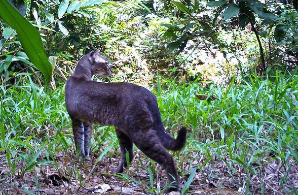 Золотая кошка в природной среде