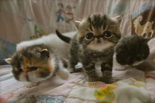 Очаровательные котята-экзоты