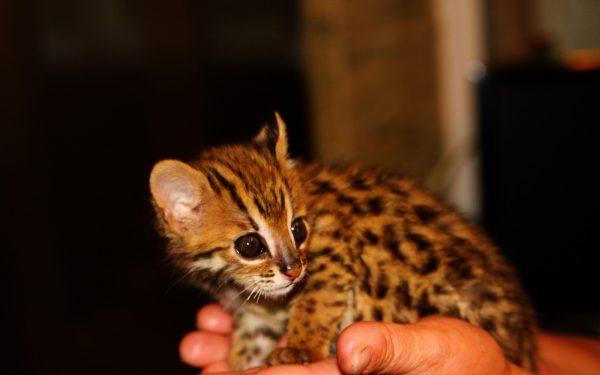 Котёнок АЛК