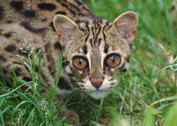 Морда дикой бенгальской кошки