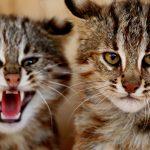 Пара азиатских леопардов