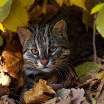 Дальневосточный кот в убежище из листьев