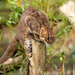 Охотящийся ржавый кот
