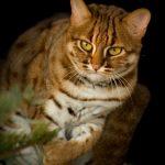 Пятнисто-рыжий дикий кот