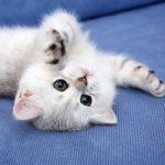 Игривый котёнок шиншиллы