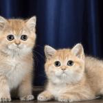 Котята золотистой шиншиллы