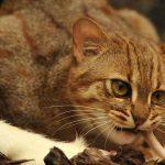Питание ржавого кота