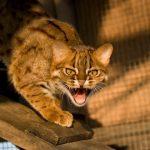 Пятнисто-ржавая кошка в зоопарке