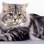 Тигровый длинношёрстный британец