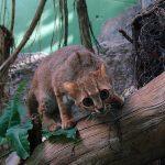 Большеглазая ржавая кошка