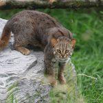 Ржавая кошка на скале