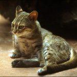 Отдыхающая ржавая кошка