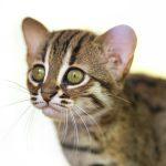 Котёнок ржавой кошки, родившийся в зоопарке