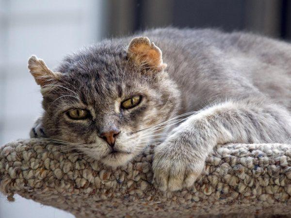 Старый серый кот на лежанке