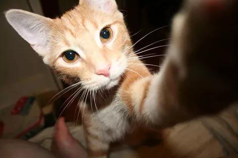 рыжая аравийская кошка смотрит в камеру и трогает её лапой