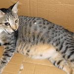 кошка с большим животом в картонной коробке
