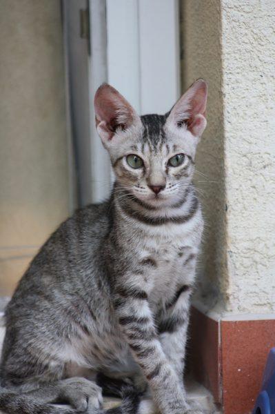 аравийская кошка с окрасом табби