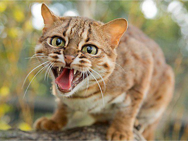Агрессивная ржавая кошка