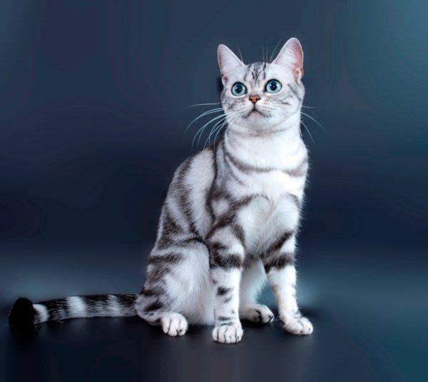 Серебристая американская короткошёрстная кошка на голубом фоне