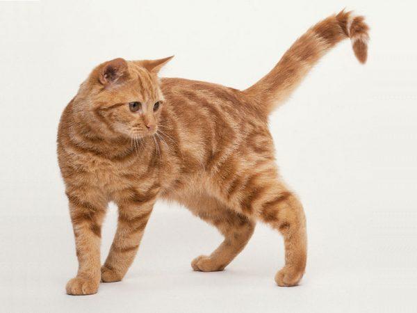 Американская кошка красного окраса