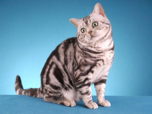 Американская короткошёрстная кошка серебристого мраморного окраса