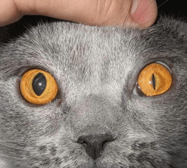 Анизокория у кошки