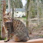 аравийская кошка серого окраса с рисунком табби