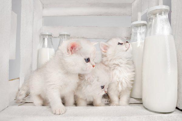 белые котята и бутылки с молоком