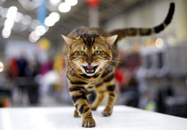 бенгальская кошка на столе