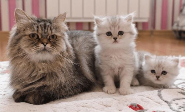 Британская длинношёрстная кошка с котятами