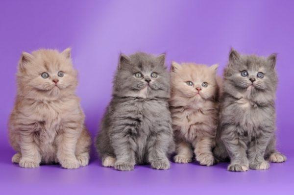 Британские котята с длинной шерстью