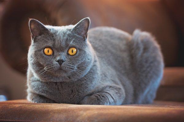Британский короткошёрстный кот
