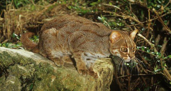 Цейлонская ржавая кошка