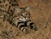 Дикий африканский кот
