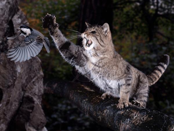 Дикий кот охотится