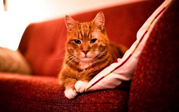 рыжий кот на красном диване