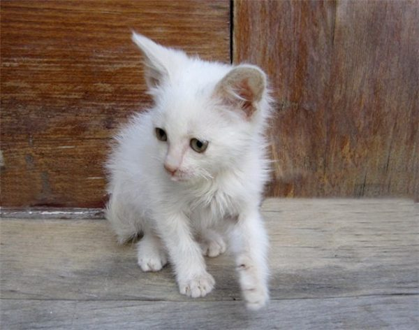 лохматый белый котёнок на деревянном полу