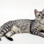 египетская мау леопардового окраса